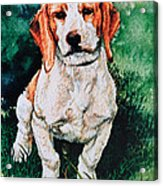 Jack Russell Woogle Acrylic Print