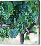 Jackson Triggs Winery 2 Acrylic Print