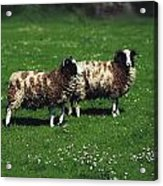 Jacob Sheep Acrylic Print