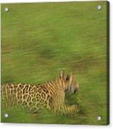 Jaguar Panthera Onca Running Acrylic Print