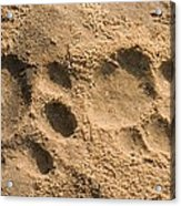Jaguar Tracks Acrylic Print by Tony Camacho