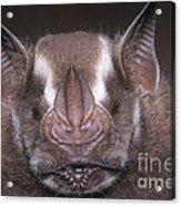 Jamaican Fruit Bat Acrylic Print