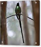 Jamaican Streamertail Hummingbird Acrylic Print