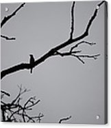 Jammer Bird Silhouette 1 Acrylic Print
