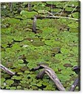 January Lake Lily Pad Acrylic Print