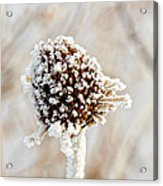 January Sunflower Acrylic Print
