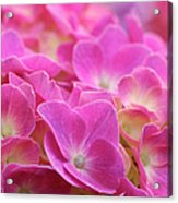Japan, Kanagawa Prefecture, Sagamihara City, Close-up Of Pink Flowers Acrylic Print by Imagewerks
