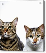 Japanese Cat And Manx Cat On White Background, Close-up Acrylic Print