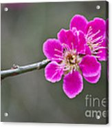 Japanese Flowering Apricot. Acrylic Print