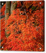 Japanese Maple In Autumn Acrylic Print