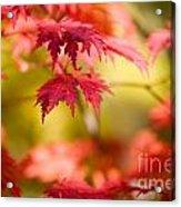 Japanese Maple Acrylic Print