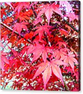 Japanese Maple Leaves 11 In The Fall Acrylic Print