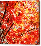 Japanese Maple Leaves 12 In The Fall Acrylic Print