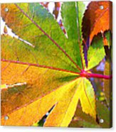 Japanese Maple Leaves 7 In The Fall Acrylic Print