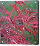 Japanese Red Leaf Maple Hybrid Acrylic Print