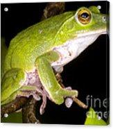 Japanese Rhacophoprid Frog Acrylic Print by Dante Fenolio