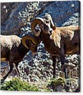 Jasper - Bighorn Sheep Acrylic Print