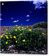 Jasper - The Whistlers Snow Cinquefoil Acrylic Print