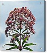 Joe-pye Weed Wildflower - Eupatorium Acrylic Print