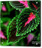 Joesphs Lace Acrylic Print by Chris Hill