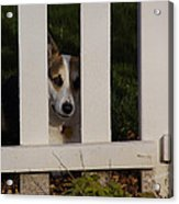 Johnny And The Picket Fence Acrylic Print