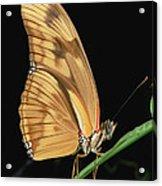 Julia Butterfly Dryas Iulia Portrait Acrylic Print