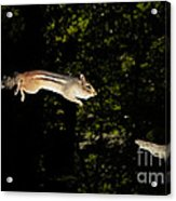 Jumping Chipmunk Acrylic Print