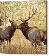 Junior Meets Bull Elk Acrylic Print by Robert Frederick