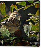 Junior Sparrow Acrylic Print