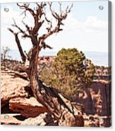 Juniper - Colorado National Monument Acrylic Print