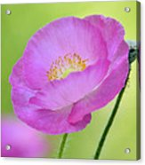Just Call Me Pink Acrylic Print