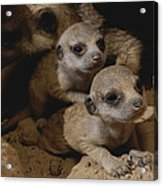 Just Waking Up, Two Meerkat Pups Acrylic Print