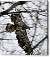 Juvenile Bold Eagle Acrylic Print