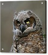 Juvenile Great Horned Owl Acrylic Print