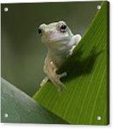 Juvenile Grey Treefrog Acrylic Print