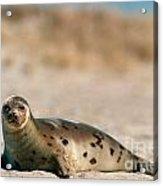 Juvenile Harp Seal Basking In The Sun Acrylic Print