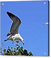 Juvenile Herring Gull Acrylic Print