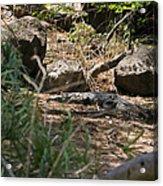Juvenile Nile Crocodile Acrylic Print