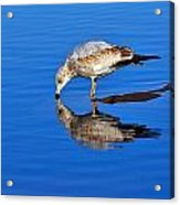 Juvenile Ring-billed Gull  Acrylic Print