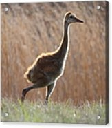 Juvenile Sandhill In The Marsh Acrylic Print