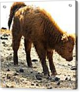 Juvenile Scottish Highlander Cattle Acrylic Print