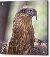 Juvenile Sea Eagle Acrylic Print