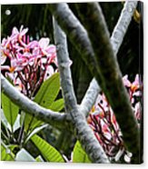 Kalachuchi Flowers Acrylic Print