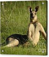 Kangaroo Playing It Cool Acrylic Print