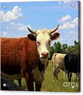 Kansas Country Cow's With Blue Sky And Grass Acrylic Print
