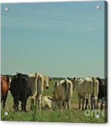 Kansas Cow's With There Backside's To You With Blue Sky And Grass Acrylic Print