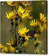 Kansas Monarchs Acrylic Print