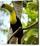 Keel-billed Toucan Acrylic Print
