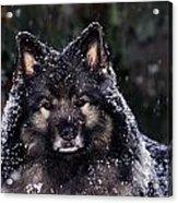 Keeshond Dog, Winnipeg, Manitoba Acrylic Print by Mike Grandmailson