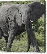 Kenya Masai Mara Charging Elephant  Acrylic Print